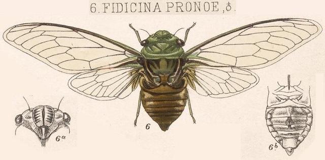 Fidicinoides pronoe (Walker, 1850)