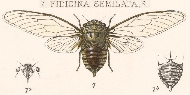 Dorisiana semilata (Walker, 1850)