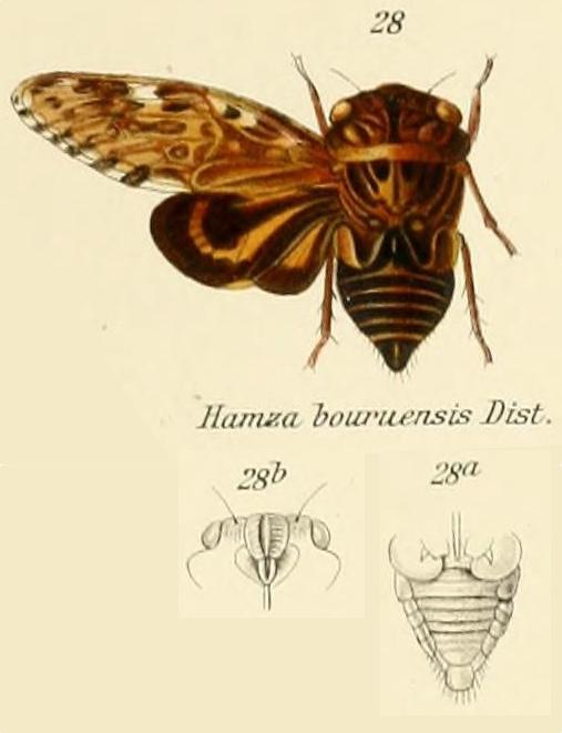 Hamza ciliaris (Linnaeus, 1758)