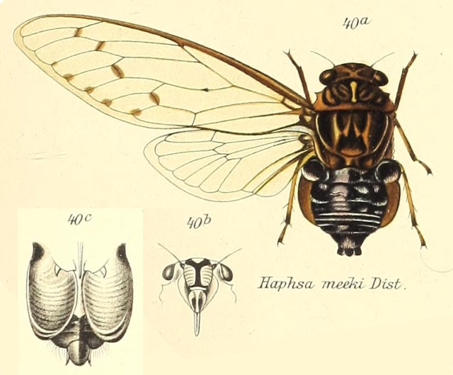Cosmopsaltria meeki (Distant, 1906)