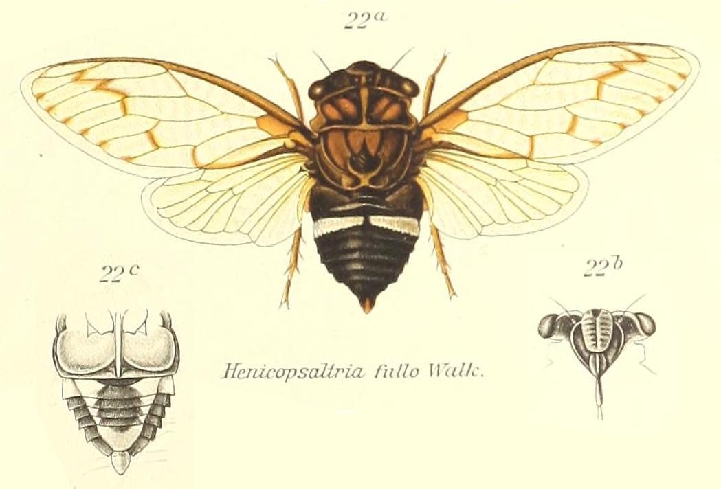 Arenopsaltria  fullo (Walker, 1850)