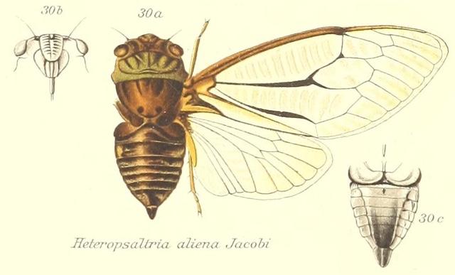 Heteropsaltria aliena Jacobi, 1902