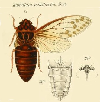 Kamalata pantherina Distant, 1889