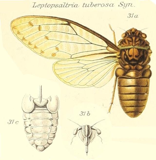 Leptopsaltria tuberosa (Signoret, 1847)