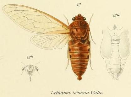 Lethama  locusta (Walker, 1850)