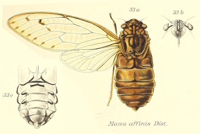 Maua affinis Distant, 1905