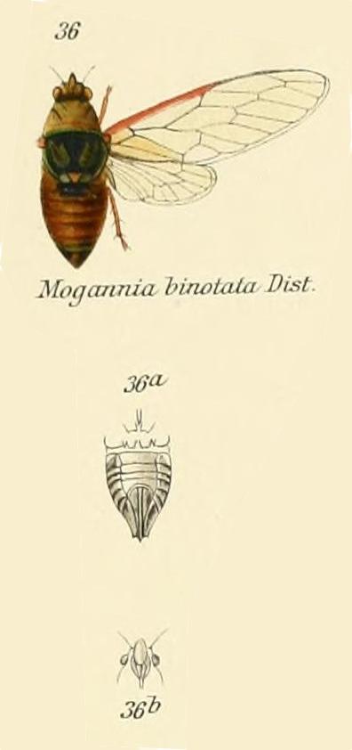 Mogannia binotata Distant, 1906