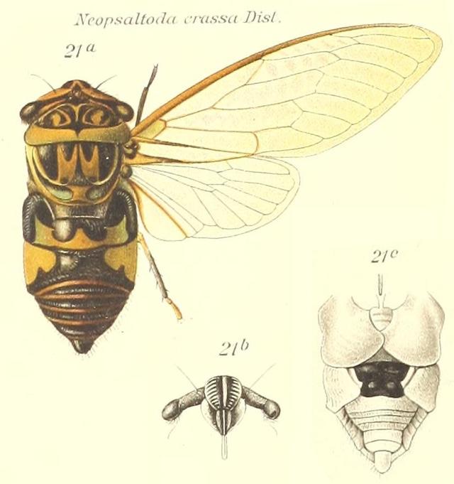 Neopsaltoda crassa Distant, 1910