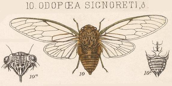 Odopoea signoreti Stål, 1864