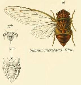 Ollanta mexicana Distant, 1905