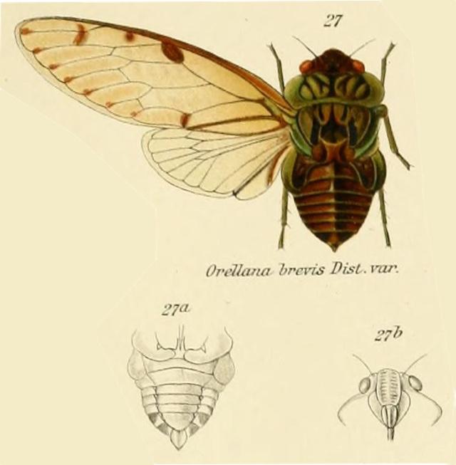 Zammara brevis (Distant, 1905)