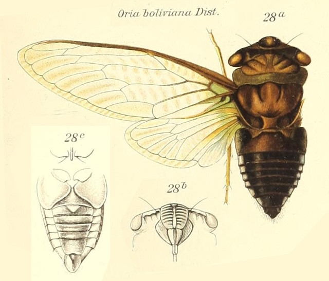 Orialella boliviana (Distant, 1904)