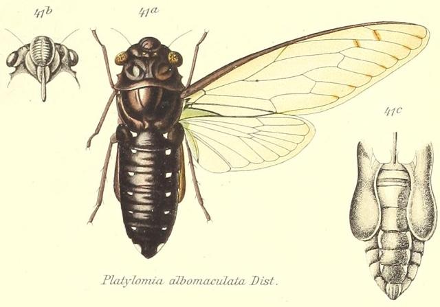 Champaka nigra (Distant, 1888)