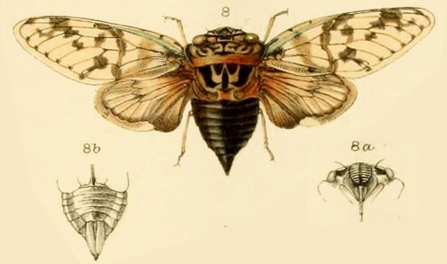 Platypleura coelebs Stål, 1863