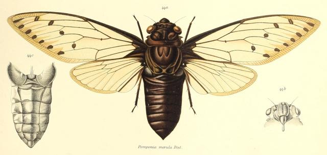 Megapomponia merula (Distant, 1905)