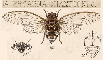 Pacarina championi (Distant, 1881)