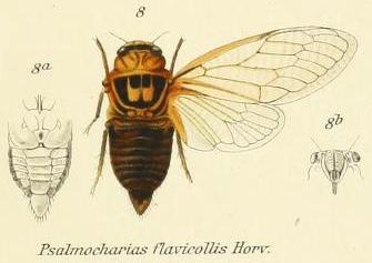 Cicadatra flavicollis Horváth, 1911