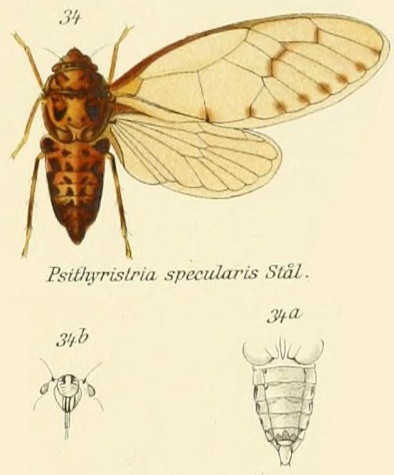 Psithyristria specularis Stål, 1870