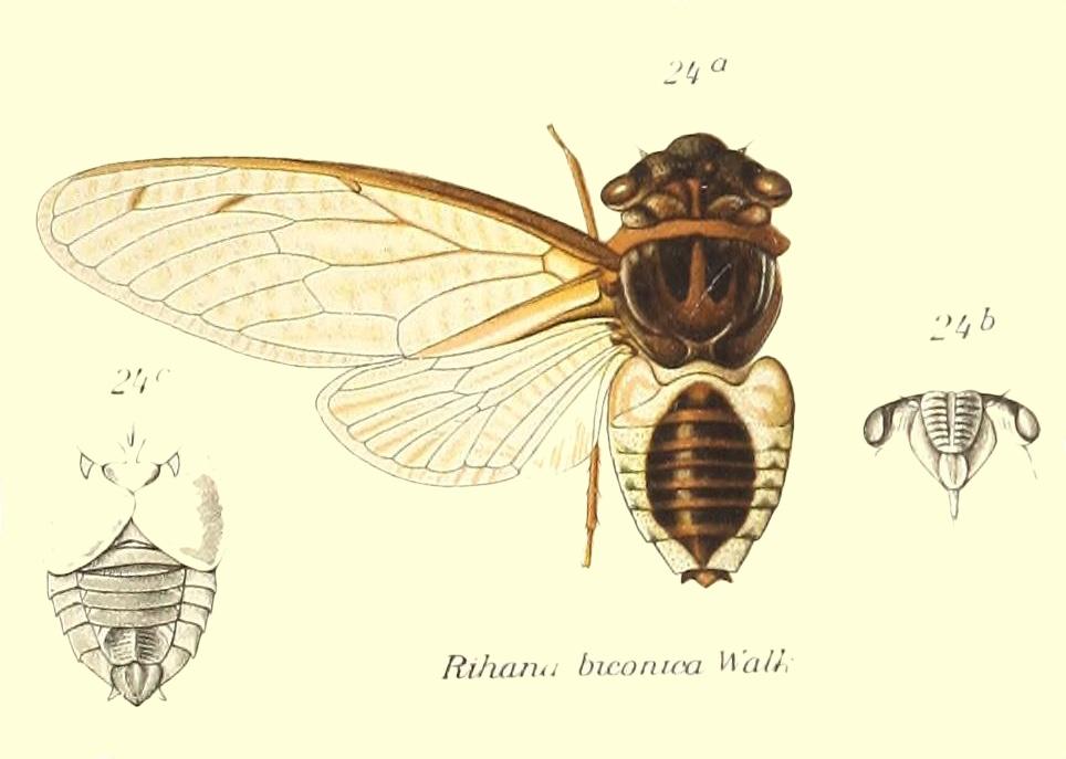 Diceroprocta biconica (Walker, 1850)