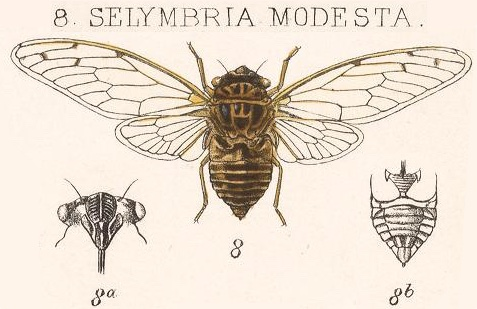 Ollanta modesta (Distant, 1881)