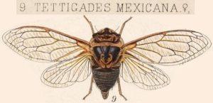 Tettigades mexicana Insecta Rhynchota