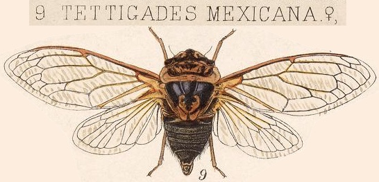 Tettigades mexicana Distant, 1881