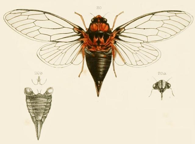 Tibicina casyapae (Distant, 1888)
