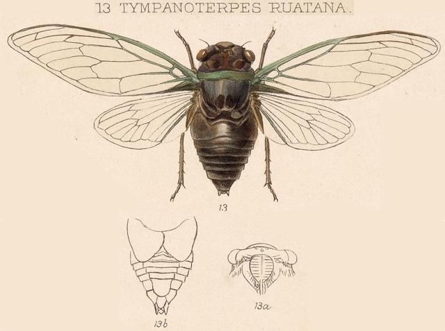 Diceroprocta ruatana (Distant, 1891)
