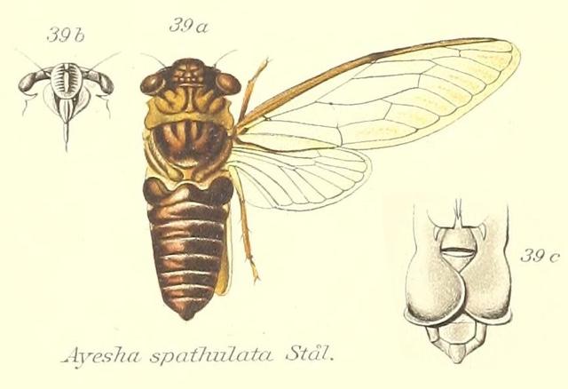 Ayesha serva (Walker, 1850)