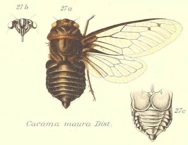 Cacama maura (Distant, 1881)