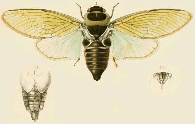 Angamiana aetherea Distant, 1890