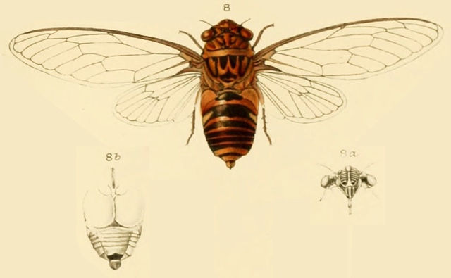 Chremistica tagalica Stål, 1870