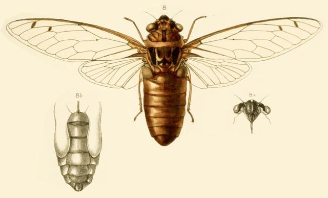 Champaka meyeri (Distant, 1883)