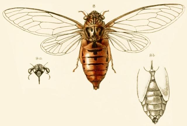 Meimuna tripurasura (Distant, 1881)