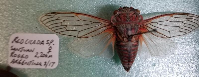 Calliopsida cinnabarina by Richard Newfrock