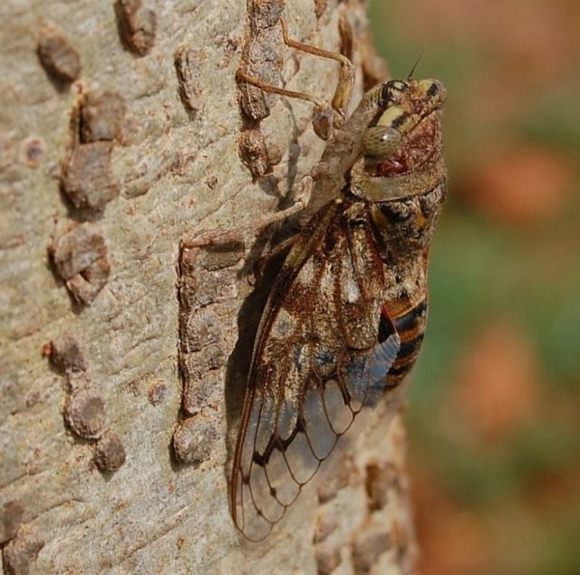 Platypleura capitata Cicada Found Near Mysore, India by Raghu Ananth on tree