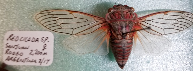Cinnabar cicada