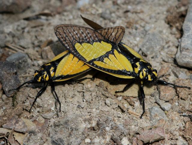 Mating Sulphogaeana sulphurea (Westwood, 1839) from Bhutan taken by Jeff Blincow. Name change from Gaeana sulphurea.