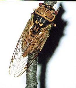 A. flammatus