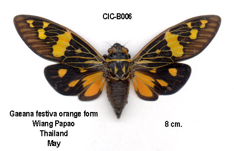 Callogaeana festiva festiva (orange)