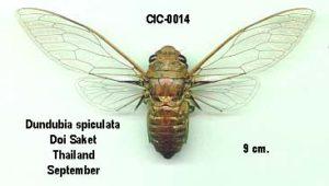 Dundubia spiculata
