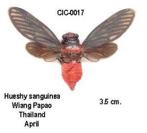 Huechys sanguinea