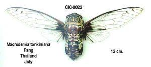 Macrosemia tonkiniana (Jacobi, 1905)