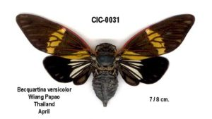 Becquartina versicolor Boulard, 2005