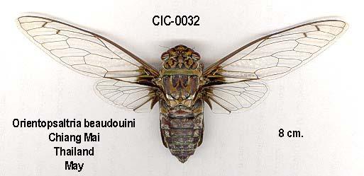 Orientopsaltria beaudouini Boulard, 2003