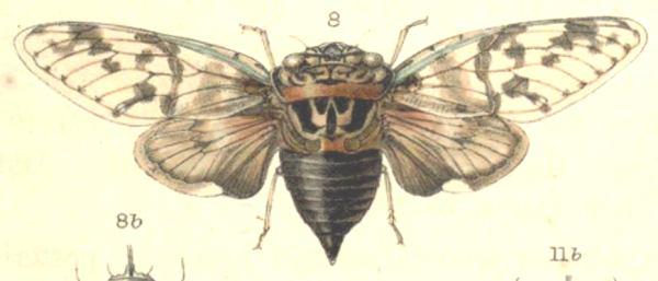 Platypleura hampsoni