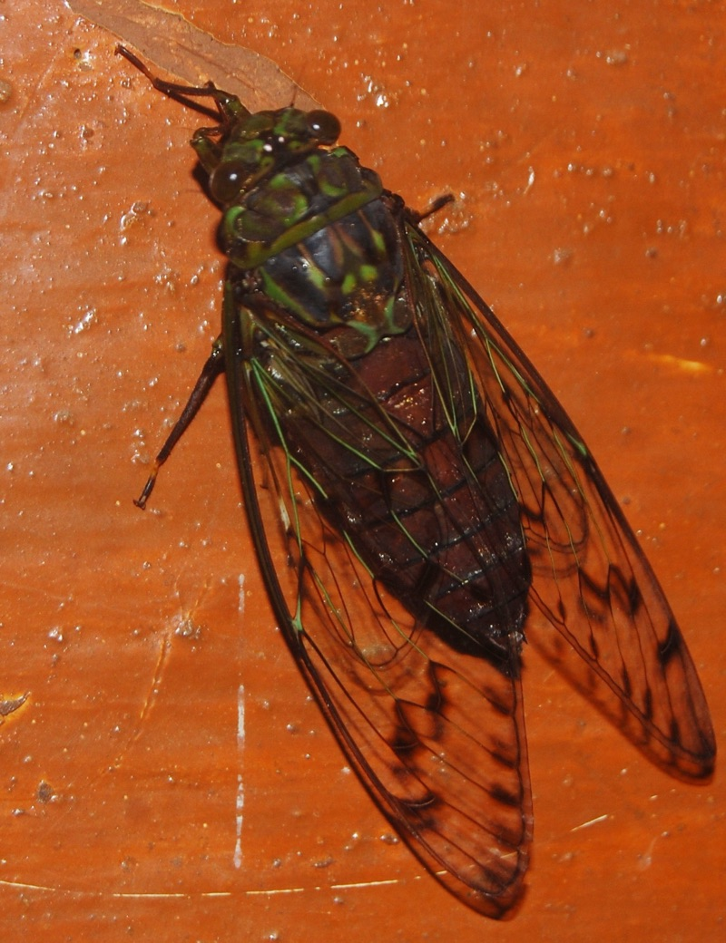 Pomponia linearis Cicada Found in Bhagamandala, Coorg, India by Raghu Ananth