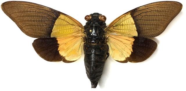 Trengganua sibylla (Stål, 1863)