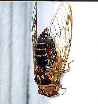 A. flammatus Osamu Hikino