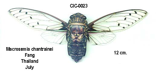 Macrosemia chantrainei Boulard, 2003